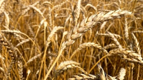Des épis de blé.