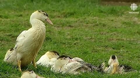 Un groupe de canards pris sur le vif dans un champ d'herbe.