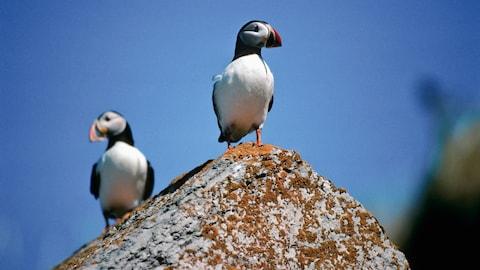Les deux oiseaux sont sur un rocher.