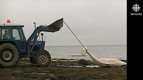Sur la berge du Saint-Laurent, un tracteur transporte le corps d'un béluga mort.