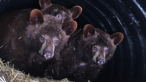 Deux oursons regardent la caméra alors que le troisième pointe le museau au-dessus d'eux. Ils sont dans un cylindre noir.