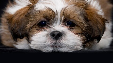 Petit chien Bichon