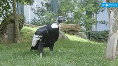 Un condor des Andes au Zoo de Granby.