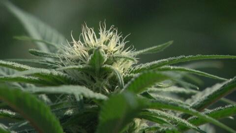 Une fleur de cannabis.