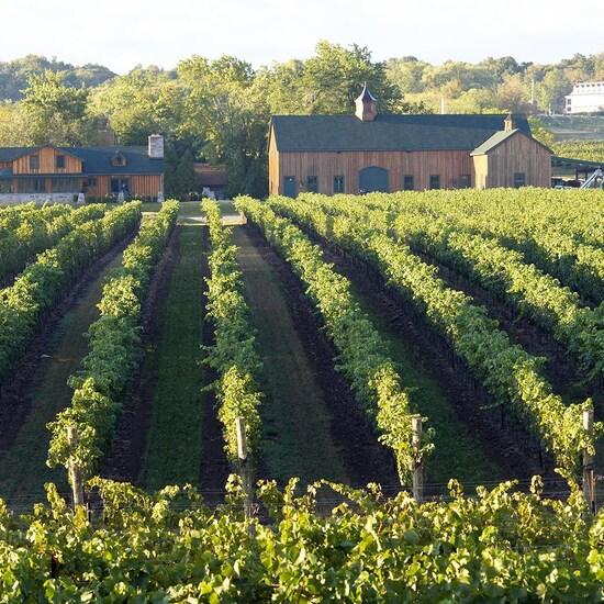 Des rangs de vignes sur une colline.