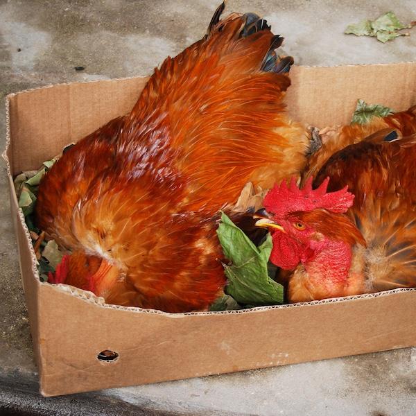 Deux poulets vivants dans une boite de carton.