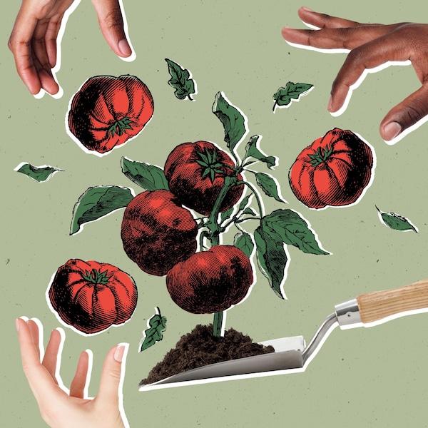 Des mains qui ramassent des tomates d'un potager.
