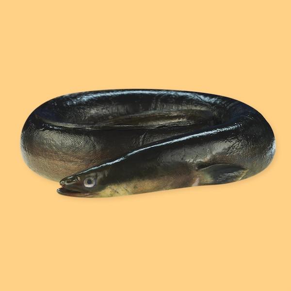 Une anguille noire.