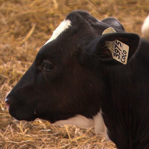 Une vache est couché dans la paille.
