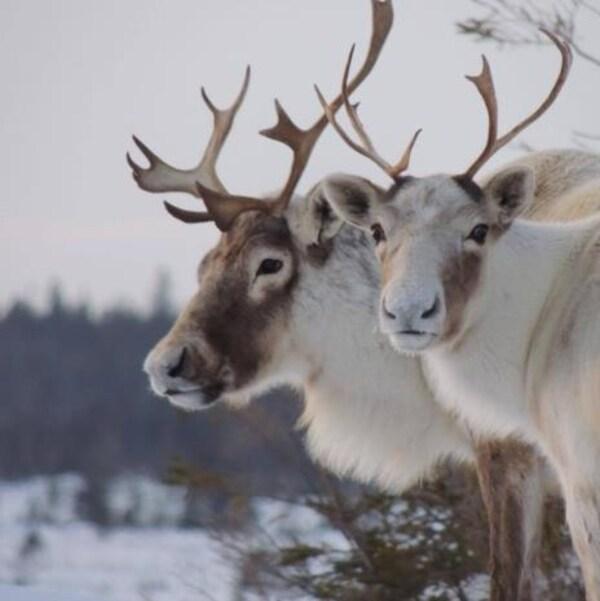 Il est interdit de chasser le caribou des Monts-Torngat à moins d'être bénéficiaire du gouvernement du Nunatsiavut.