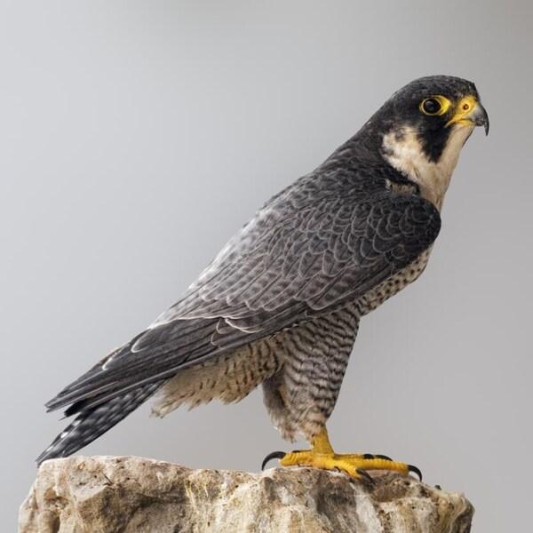 Un faucon pèlerin perché sur une roche