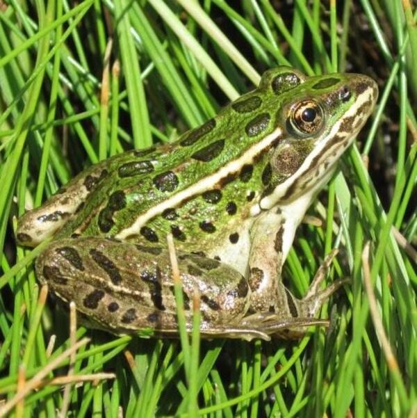 Plan serré d'une grenouille posée sur de l'herbe.