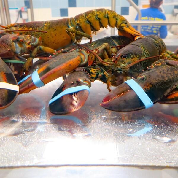 Des homards vivants dans un aquarium.