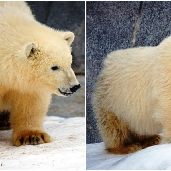 Deux bébés ours polaires.