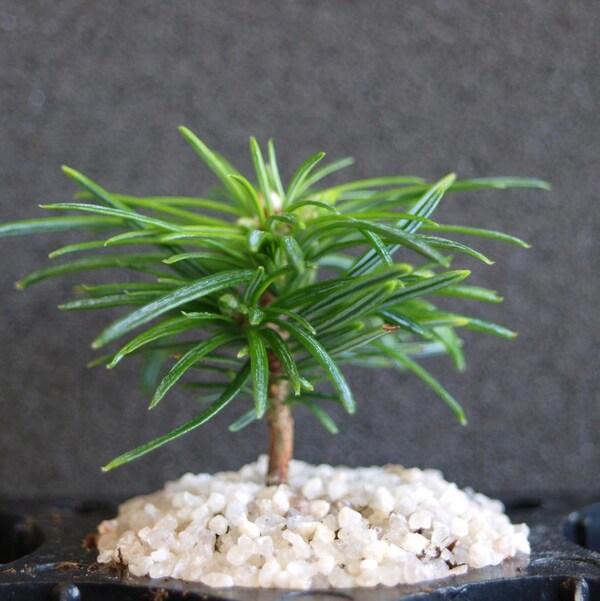 Un petit plant de sapin