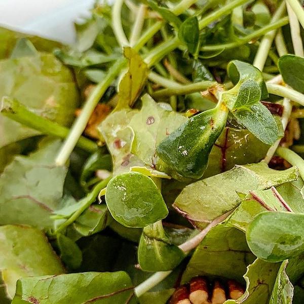 Une salade de fanes de betteraves dans un bol blanc.