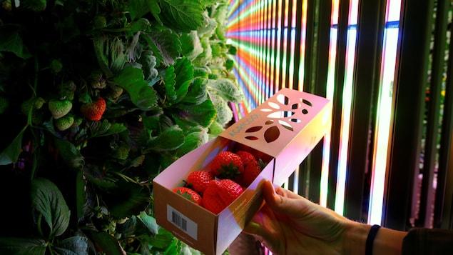 Une main tient une barquette de fraises devant des plants verticaux et des lumières leds multicolores.