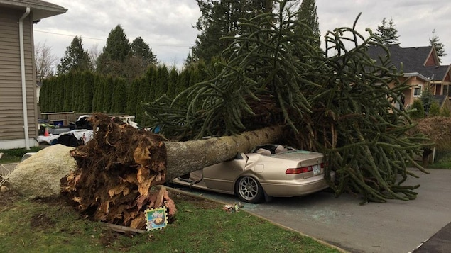 Un arbre déraciné par de forts vents est tombé sur une voiture à Surrey, en Colombie-Britannique.