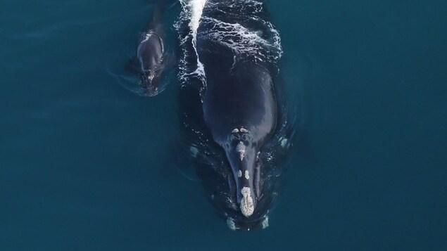 Une baleine et un baleineau dans l'océan.