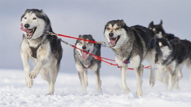 Lamarche accueillera une course internationale de traîneaux à chiens
