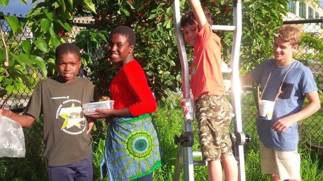 Des jeunes récoltent des cerises.