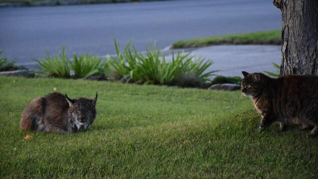 Un lynx sur son terrain