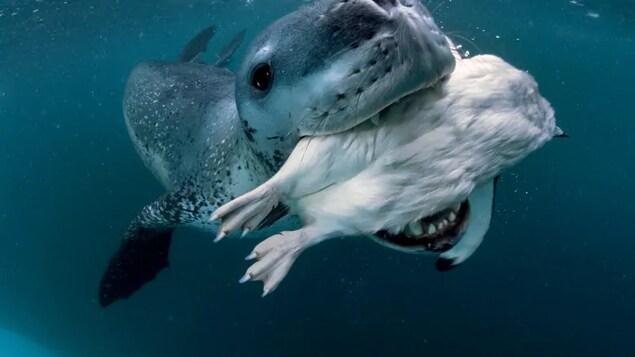 Un léopard de mer nage avec une capture dans la gueule