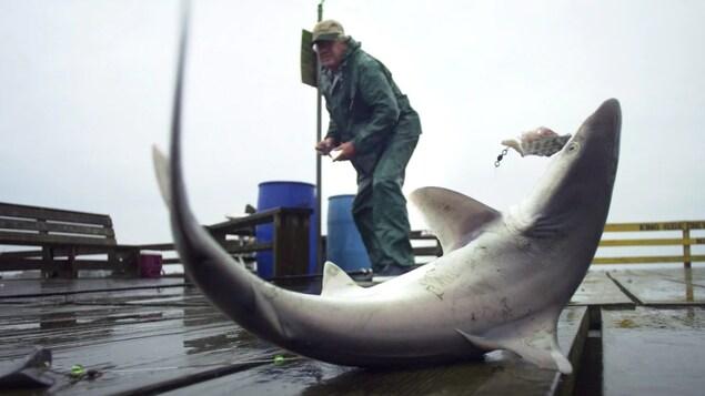 Un petit requin sur un quai devant un pêcheur.