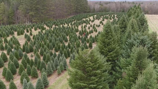 Vue aérienne d'une plantation de sapins.