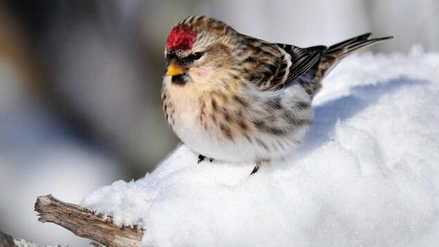 Un sizerin blanchâtre dans la neige.