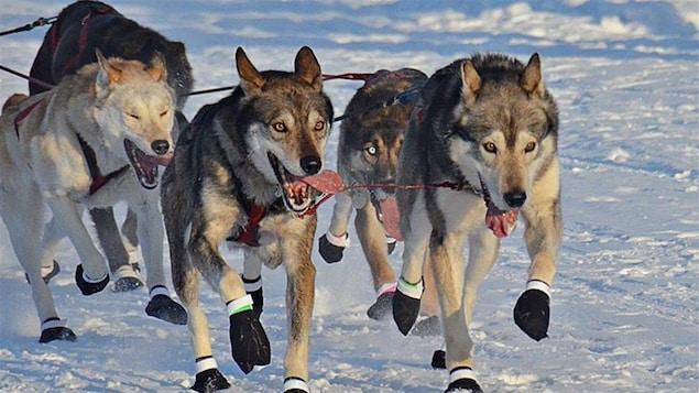 La vaccination contre la COVID-19 ne sera pas obligatoire lors de la Yukon Quest
