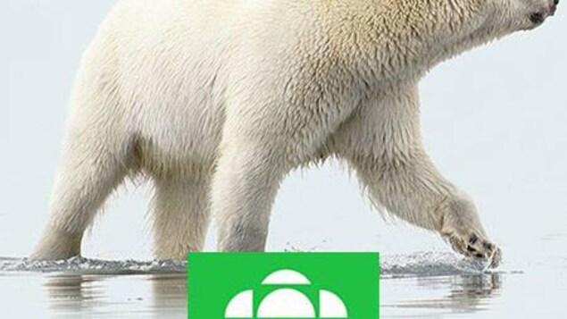 Un ours polaire qui marche