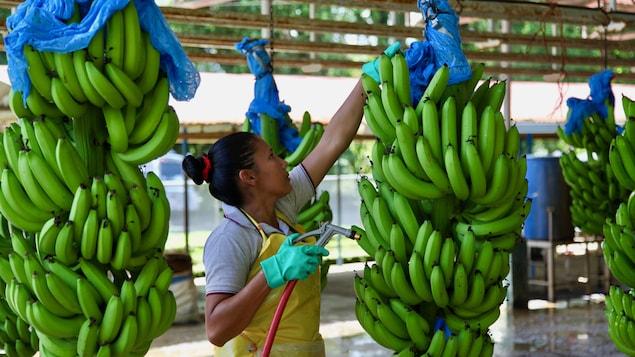 La femme tient dans sa main droite un boyau d'arrosage muni d'un pistolet et s'apprête à asperger un régime de bananes suspendu au plafond de l'usine.