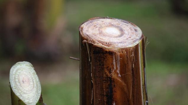 On observe une décoloration des tissus vasculaires du bananier. Au lieu d'être blanc, l'intérieur est tacheté de jaune et de brun.