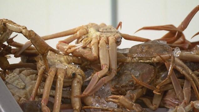 Des spécimens de crabe des neiges pêchés dans les provinces de l'Atlantique et destinés à l'exportation.