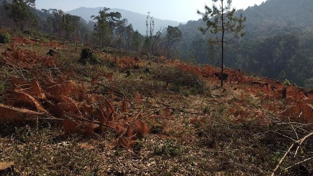 Des arbres calcinés, et en arrière plan, des forêts dans les montagnes