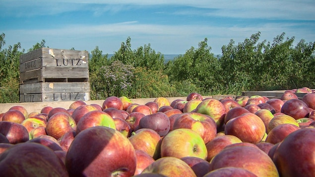 La ferme Lutz compte augmenter la production de Honeycrisp jusqu'à ce qu'elle atteigne la moitié de sa production totale de pommes.