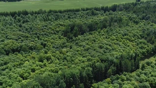 Vue aérienne montrant en été la forêt d'érables plantée il y a 25 ans par l'acériculteur du Centre-du-Québec Marcel Faucher.