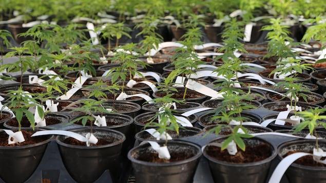 Des plants de marijuana dans une serre