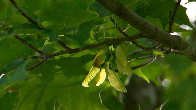 Des samares pendent d'une branche d'un érable.