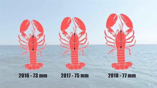 La taille de la carapace minimale passera de 72 mm dans les dernières années à 77 mm en 2018.