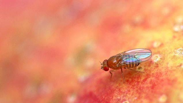 Une mouche à fruits sur une pomme.