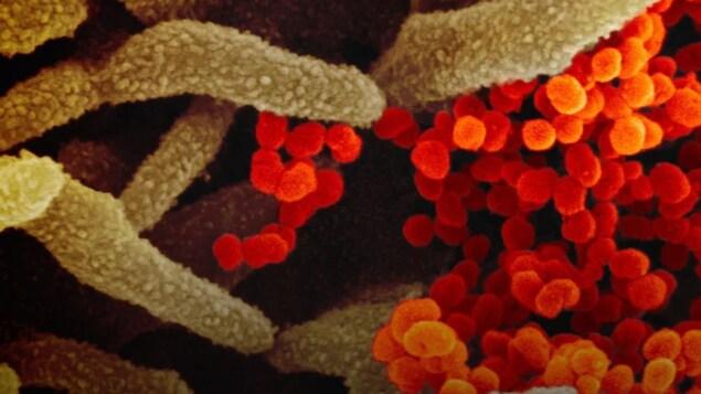Vue microscopique de cellules colorées en rouge et vert.