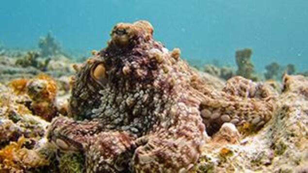 Fascinante pieuvre du pacifique