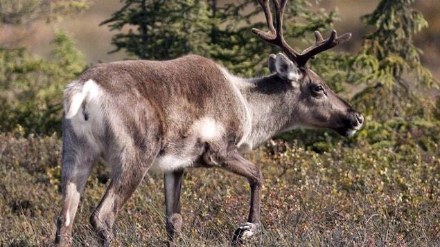Un caribou dans la forêt