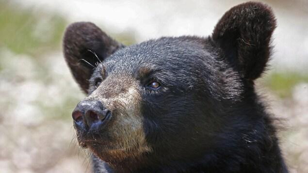 La tête d'un ours noir.