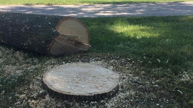 Un frêne abattu près de l'anneau des plaines d'Abraham, à Québec.