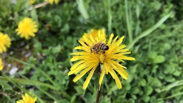 Une abeille butine un pissenlit.