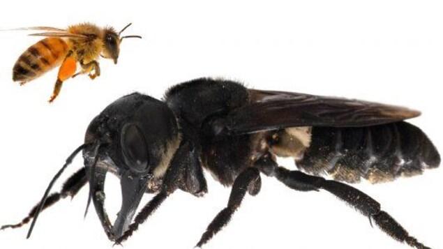 L'abeille géante de Wallace est environ quatre fois plus grande qu'une abeille européenne.