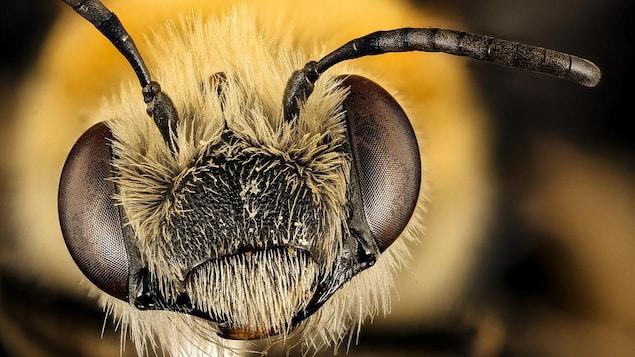 Gros plan sur la tête d'une abeille pruinée femelle.